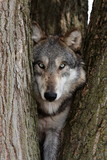 Fototapeta kręgowych - dziki - Dziki Ssak