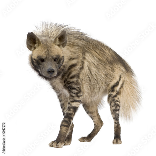Deurstickers Hyena Striped Hyena in front of a white background