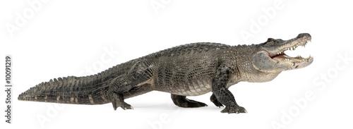 Foto op Plexiglas Krokodil American Alligator in front of a white background