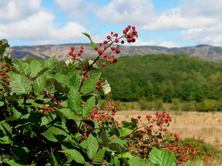 Red Berry on the Crimea Mountains