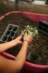 Woman transplanting tomato starts