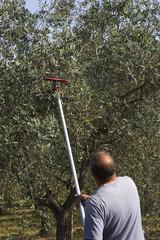 raccolta meccanica delle olive