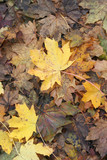 A fall impression: brown and yellow decaying leaves. poster