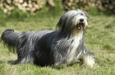 bearded collie en course poils au vent