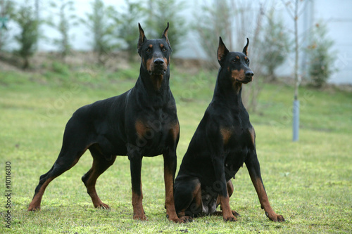 Couple de Dobermann montant la garde