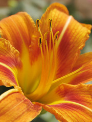 macro tiger lily on the artistic colour background