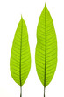Two young mango leaves isolated on the white background