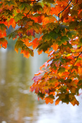 Close up of colourful autumn leaves, water in background.