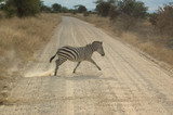 A zebra crossing the dirt road, Tanzania