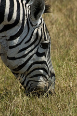 Closeup of a zebra eating grass