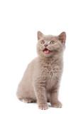 Mewing little kitten poster