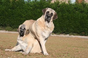 Vigilance et protection maternelle de son jeune chien