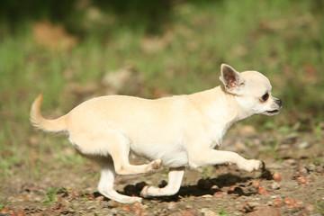 Course du Chihuahua beige de profil