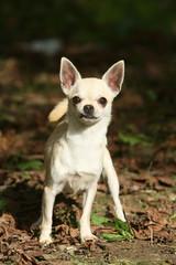 Chihuahua en face à face