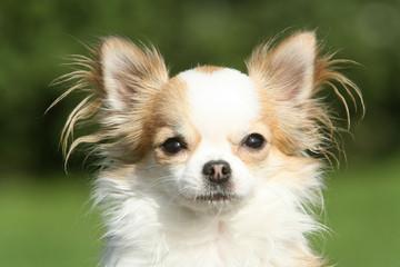 Portrait douceur d'un chihuahua à poil long