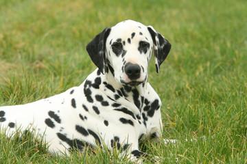 Dalmatien couché dans l'herbe