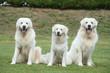 Trio de berger de Podhale à la campagne