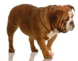 red brindle english bulldog walking poster