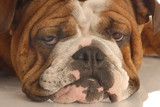 english bulldog face with a unhappy scowl poster