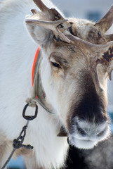raindeer from north of Russia