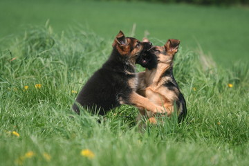 bagare de deux bébés berger allemand