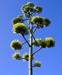 Blühende Agave (agave americana)