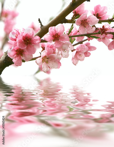 Obraz w ramie peach flowers and reflection over white