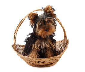 little yorkie dog in basket, white background