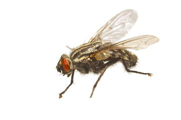An extreme macro photo of a typical house fly