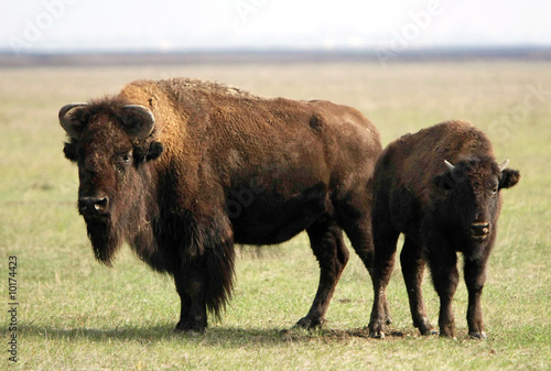 two of wild buffalos. Askania-Nova. Ukraine
