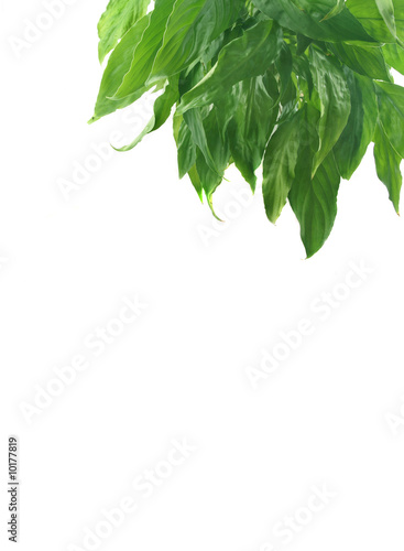 Fresh green leaves on a white background.