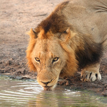 Lion having a drink in Sabi Sands, South Africa