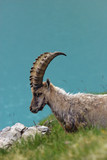 Ibex in alps