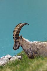 Ibex in alps