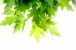 Green fresh maple leaves
