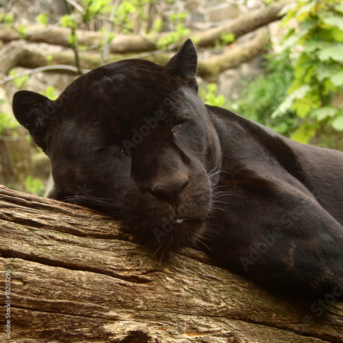 Fotobehang Luipaard Sleeping black jaguar, (Bagheera from Jungle book?)