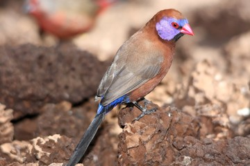 Violet-Eared waxbill finch looking for ant larva