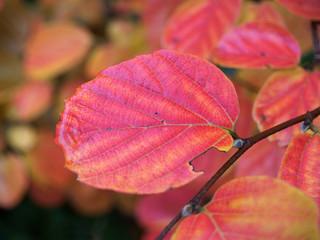 Rotes Herbstblatt