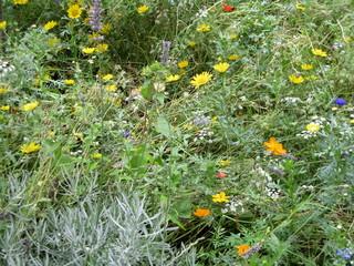 Fleurs des champs dans un jardin.