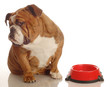 english bulldog turning her nose up to an empty food dish