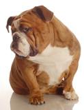 red brindle english bulldog with a bad attitude poster