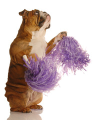 english bulldog holding cheerleading pompoms