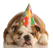 english bulldog wearing birthday party hat