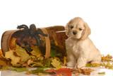 american cocker spaniel puppy sitting beside basket poster