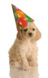 american cocker spaniel puppy wearing cute birthday hat poster