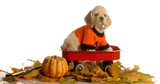 cocker spaniel puppy sitting in wagon with autumn leaves poster