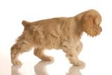 american cocker spaniel puppy walking poster