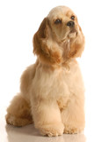 american cocker spaniel sitting- six months old poster