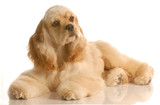 american cocker spaniel laying down  - six months old poster