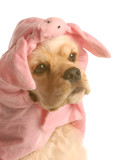 cocker spaniel dressed up as a pig poster